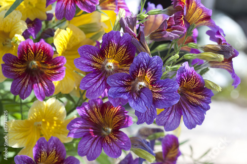 Papiers peints Pansies Petunia Multi Coloured