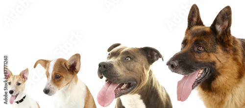 Photo Dogs in row isolated on white