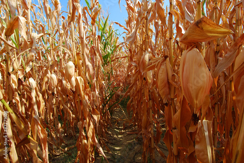 Hanging corn cobs after drought background trees and blue sky