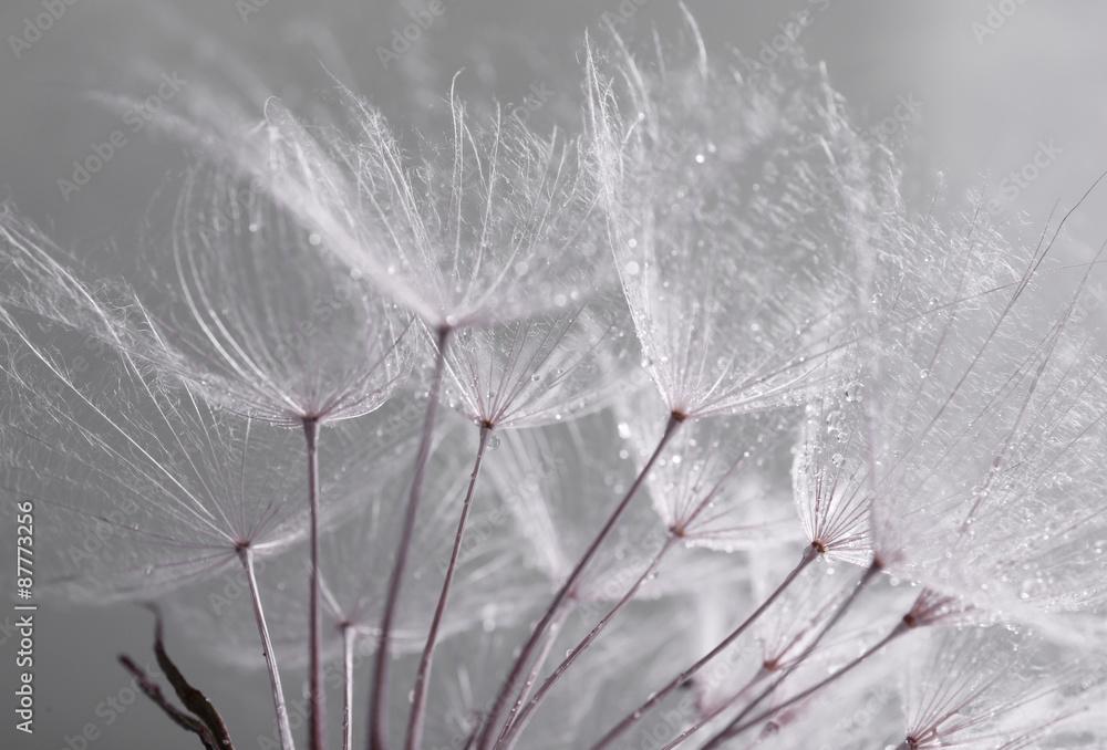 Fototapety, obrazy: Beautiful dandelion with seeds, macro view