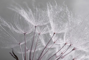 FototapetaBeautiful dandelion with seeds, macro view