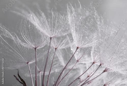 Poster Pissenlit Beautiful dandelion with seeds, macro view
