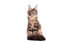Maine Coon Cat Sitting In Fron...