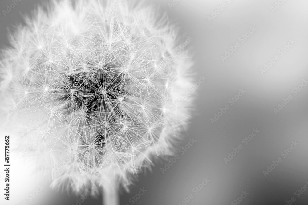 Fototapety, obrazy: Beautiful dandelion with seeds, close-up