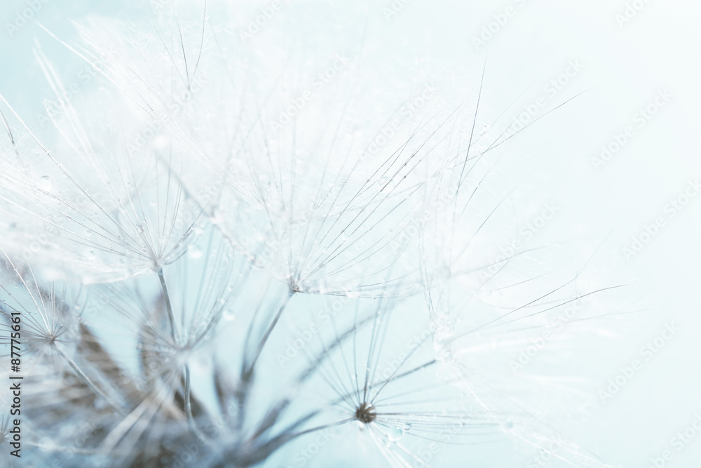 Fototapety, obrazy: Beautiful dandelion with seeds, macro view