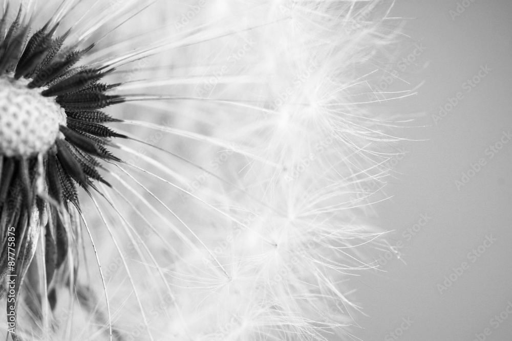 Fototapety, obrazy: Beautiful dandelion with seeds close-up