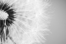 Beautiful Dandelion With Seeds...