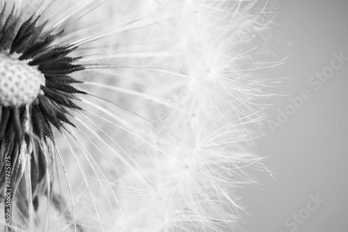 Beautiful dandelion with seeds close-up