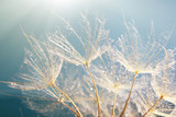 Fototapeta Dmuchawce - Beautiful dandelion with seeds, macro view
