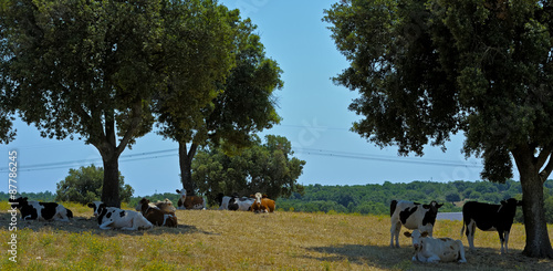 Valokuva  Cows Murgia defend themselves from the summer heat in the shade of a large oak trees