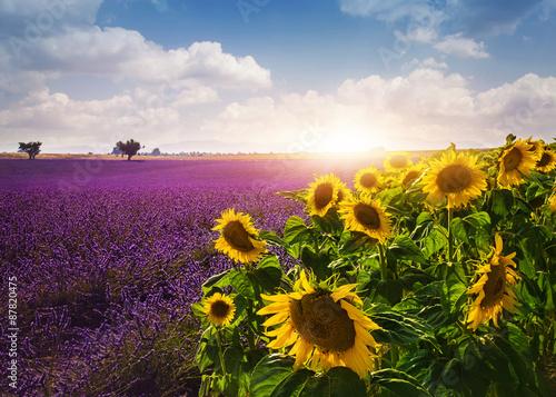 Fototapeta Lavender and sunflowers fields obraz