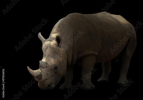 white rhinoceros isolated