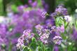 Closeup of purple wildflowers