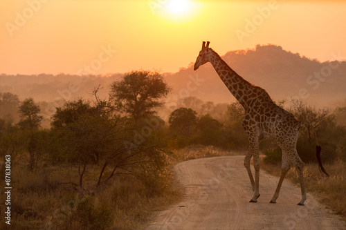 Fotobehang Giraffe Giraffe At Sunrise Kruger National Park