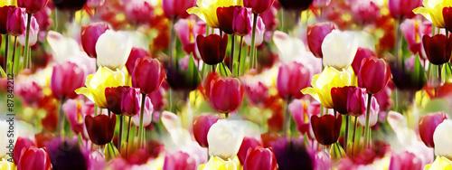 kolorowa-tulipanowa-panorama-oswietlona-wiosennym-sloncem