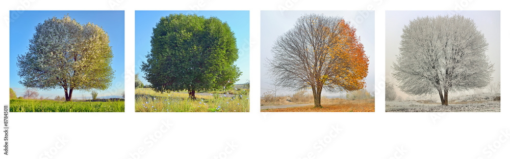 Fototapety, obrazy: alone tree in four season