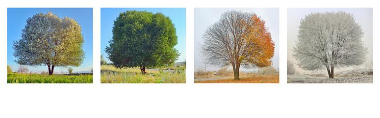 alone tree in four season