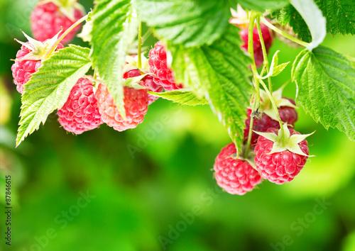 Poster Fruit raspberries in a garden