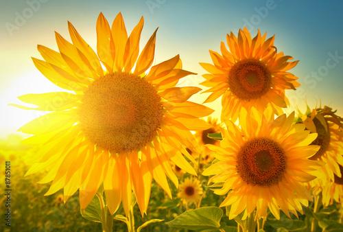 Garden Poster Floral Sunflowers