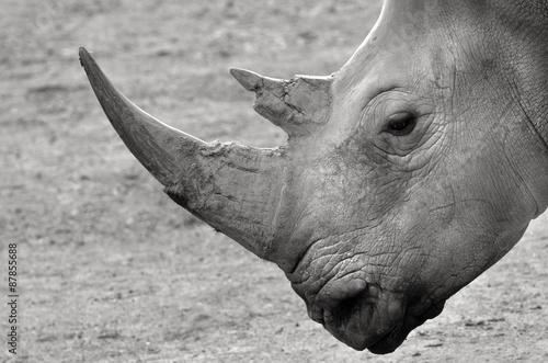 Spoed Foto op Canvas Neushoorn Portrait of a Southern White Rhinoceros