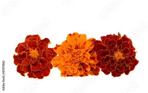 Foto op Canvas Madeliefjes marigolds isolated