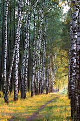 Fototapeta Russian birch alley natural background