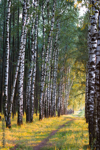 Russian birch alley natural background - 87881294