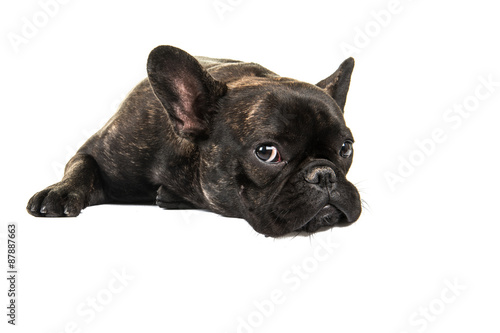 Foto op Aluminium Franse bulldog Cute French bulldog lying down on the floor isolated on a white background