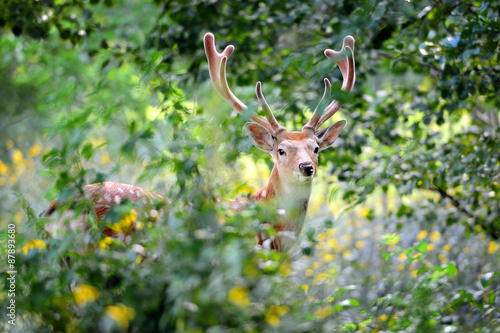 Valokuva  Whitetail Deer standing in summer wood