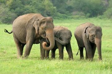 Obraz na Szkle Słoń Elephants