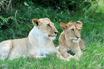 Fototapeta Lew Lion in the grass of Masai Mara, Kenya