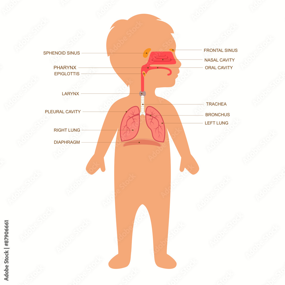 Fototapeta human respiratory system anatomy, child vector medical nose illustration