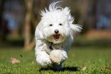 Coton De Tulear Dog Running Ou...