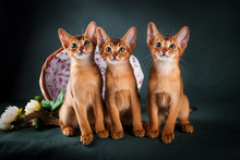 Group Of Abyssinian Cats On Da...