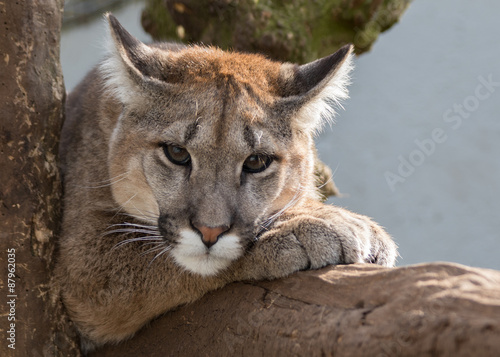 Fotobehang Puma Puma, Mountain Lion headshot lying on a branch