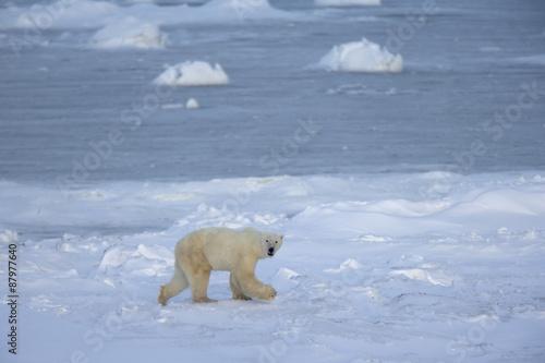 In de dag Ijsbeer Eisbär