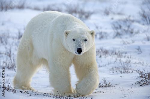 Poster Ijsbeer Eisbär