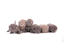 Six Newborn Kittens Lilac And Blue Color.