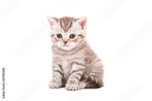 Keuken foto achterwand Kat Little Kitten British striped brown on white background. Kitten one month.