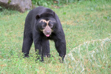Spectacled Bear Portrait While...