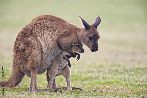 Poster Kangoeroe Känguru spielt mit Jungtier