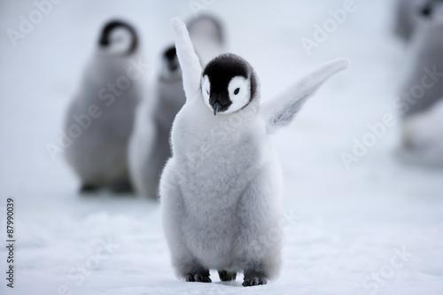 Spoed Fotobehang Pinguin Kaiserpinguinküken