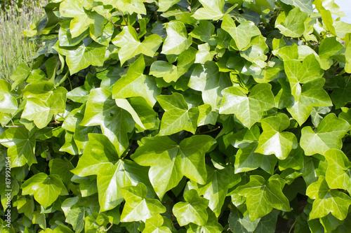 Grün blühender Efeu