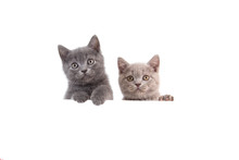 Two Kitten British On White Background. Cat Peeking From Behind. Two Months.