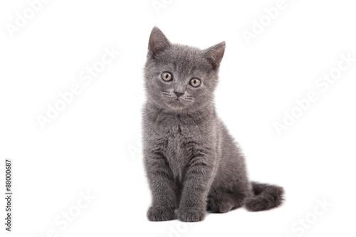 Obraz na płótnie Small blue British kitten on white background. Cat sitting.