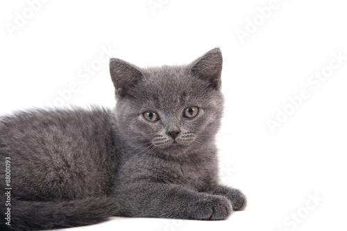 Poster Jaune Small blue British kitten on white background. Cat lying.