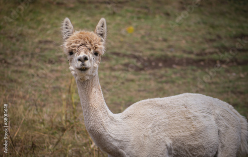 Foto op Canvas Lama Shorn adult llama