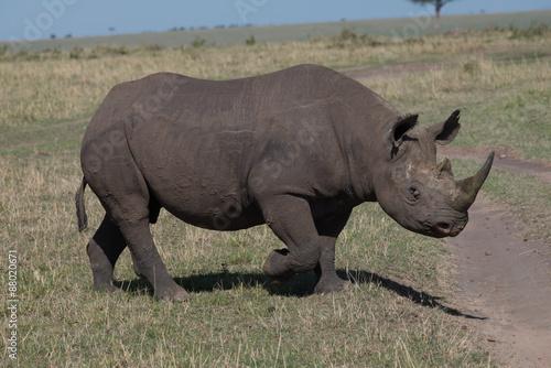 Fotografie, Obraz  Black Rhino In Plains