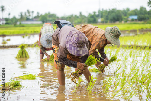 Fotografie, Obraz  Group of Thai farmer planting rice in the farm.