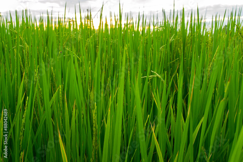 Fotografie, Obraz  Green of rice